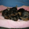Vand catelusi Yorkshire Terrier vaccinati, deparazitati si cu carnet de sanatate