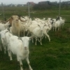 Vand cu 700 lei /bucata  capre saanen