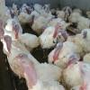 Vand curcani albi de carne 20-25kg