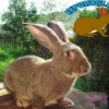 Vand iepuri de rasa pura uriasul gri german