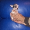 Vand puisori superbi de Chihuahua Toy