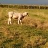 Vand un tauras rasa Angus si un vitel metis de charolaise.