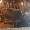 Vand vaca bruna gestanta tanara cu transport inclus .