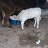 Vand  vaca cu vitea langa ea si transport inclus.