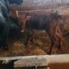 Vand vaca cu vitel langa ea.