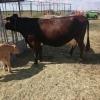 Vand vaca cu vitel,da 25 l de lapte.