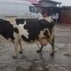 Vand vaca holstein  ce urmeaza sa fete pe 1 martie,