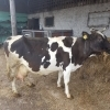 Vand vaca holstein cu transport asigurat.gestanta.am
