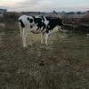 Vand vaca switz cu 2 vitei,o juninca holstein g