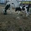 Vand vaca switz cu 2 vitei,o juninca holstein gestanta