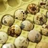 Vindem oua de prepelita pentru incubat O,5 lei bucata, carne, pui, furaj